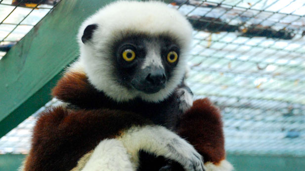Coquerel's sifaka and baby