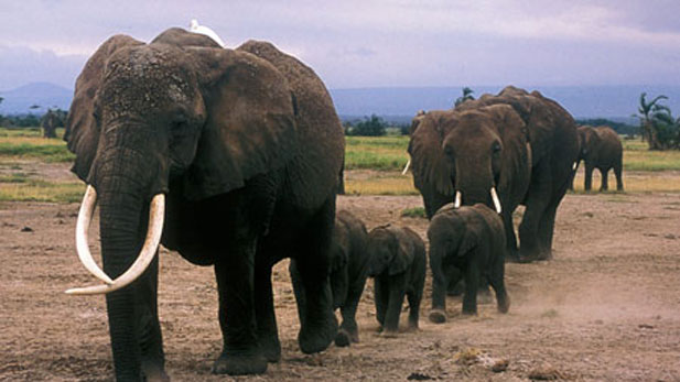 The matriarch, Echo, leads her family in Amboseli National Park.