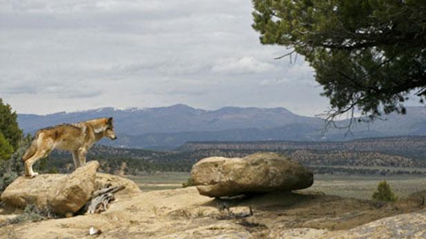 Dramatization of Lobo surveying the landscape.