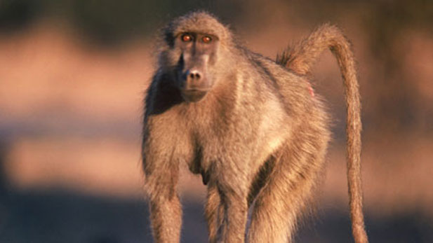 a female chacma baboon goes about business in Zimbabwe's Mana Pools National Park