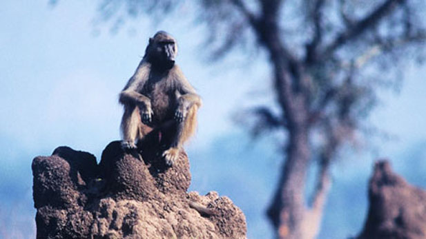 A chacma baboon perches atop a mound built by termites in Zimbabwe's Mana Pools National Park.