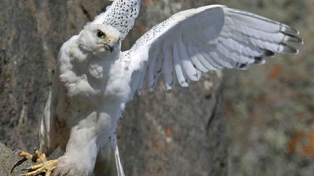 Nature White Falcon White Wolf
