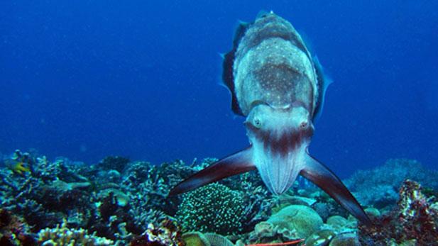 A Broadclub cuttlefish hunting display