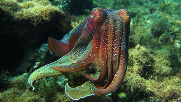 A giant male cuttlefish
