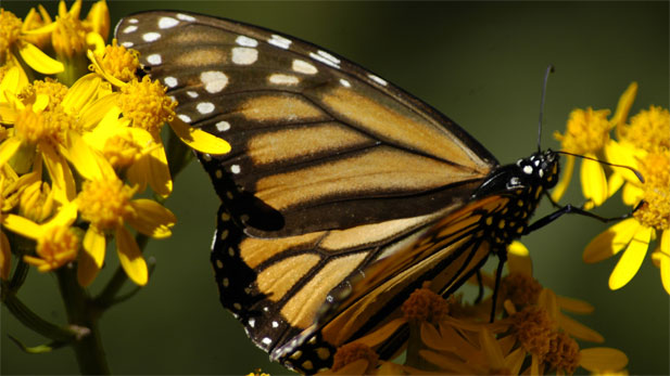 NOVA The Incredible Journey of the Butterflies