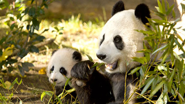 giant panda cub Zhen Zhen, pictured here with her mother, Bai Yun