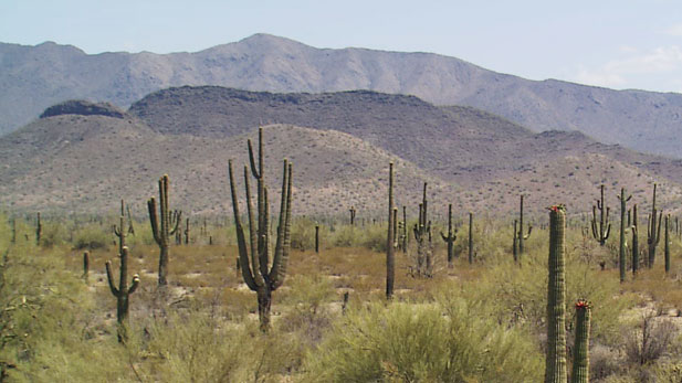 Saguaros flourish in the Sonoran Desert